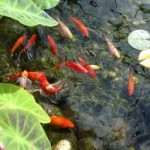 How Many Fish Can Your Garden Pond Take?